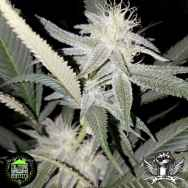 In House Genetics Divine Kush Breath