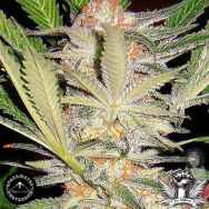 Sagarmatha Seeds Black Domina Automatic