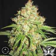 Sagarmatha Seeds White Widow #2