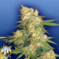 Flying Dutchmen Seeds Aurora B