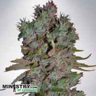 Ministry of Cannabis AUTO Blueberry Domina