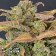 CBD Seeds Auto Critical