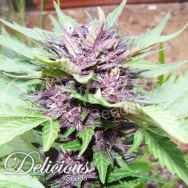 Delicious Seeds AUTO Dark Purple AKA AUTO Jota Mayuscula Purple