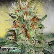 Ministry of Cannabis AUTO Mary Jane