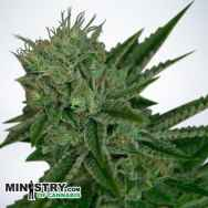 Ministry of Cannabis AUTO Northern Lights