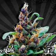 Auto Seeds Purple Stilton aka Purple Cheese