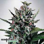 Ministry of Cannabis AUTO Silver Bullet