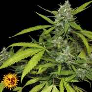 Barneys Farm Seeds Auto Sweet Tooth