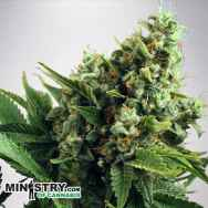 Ministry of Cannabis AUTO White Widow
