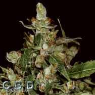 CBD Seeds Auto Widow