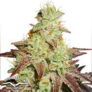 Dutch Passion Seeds AutoNight Queen