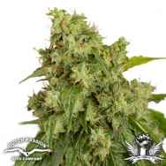 Dutch Passion Seeds AUTO Xtreme