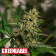 Green Label Seeds Automatic Cheese
