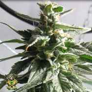 Reeferman Seeds BC Gold