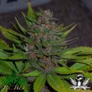 BC Bud Depot Seeds BC Blueberry