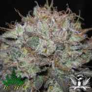 BC Bud Depot Seeds The Big