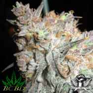 BC Bud Depot Seeds The Black