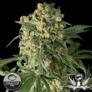 Dinafem Seeds Big Kush
