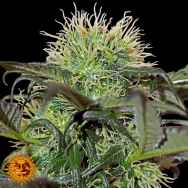 Barneys Farm Seeds Bad Azz Kush