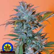 Next Generation Seeds BC Golden Skunk