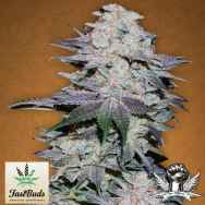 FastBuds Seeds Blackberry AUTO