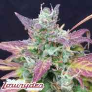 Lowryder Seeds Seeds Betty Boo