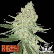 Big Head Seeds AUTO Big Stilton aka Big Cheese Auto