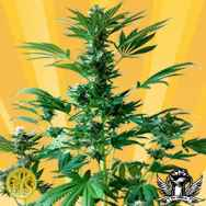 Freedom of Seeds Big Domina Autoflowering