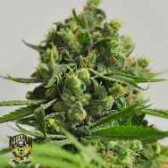 Reeferman Seeds Big Sur Holy Weed