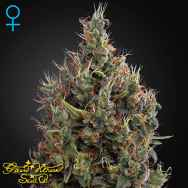 Green House Seeds Big Bang AUTO