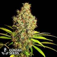 GunJah Seeds Big Diesel