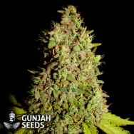 GunJah Seeds Big Dog