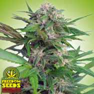 Freedom Seeds Big Easy AUTO