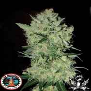 Big Buddha Seeds FreezeCheese 89