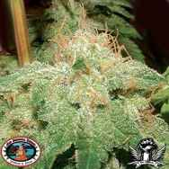 Big Buddha seeds G Bomb