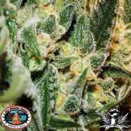 Big Buddha Seeds Silver Cheese