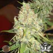 Emerald Triangle Seeds Black Berry OG