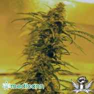 Medicann Seeds Black Blood