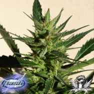 Flash Autoflowering Seeds Black Samba SuperAuto F1