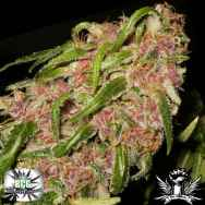 Black Creek Gardens Seeds Spyder