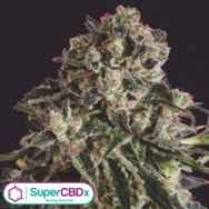 SuperCBDx Seeds Black Critical x SCBDX