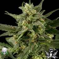 Black Skull Seeds Auto Pineapple Gum