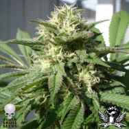 Black Skull Seeds Bubble Bud