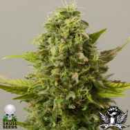 Black Skull Seeds Auto Critical Ryder