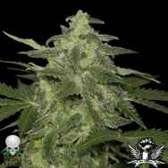 Black Skull Seeds Auto  Diesel-Matic
