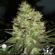 Black Skull Seeds Jack Herer