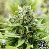 Black Skull Seeds Auto Jack-Matic