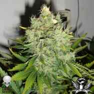 Black Skull Seeds Pepperjack Haze