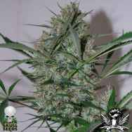 Black Skull Seeds Speed Haze