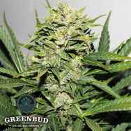 Greenbud Seeds Blackout AUTO